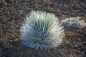 Haleakala silver sword plant growing at the summit of Haleakala volcano on the island of Maui, Hawaii.