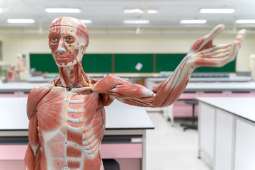 Human anatomy and physiology model in the laboratory