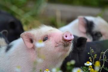Close up of piglet at farm