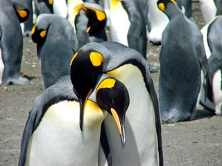 Close up of penguins mating