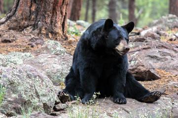 American black bear sitting on rock in forest