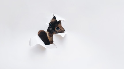 The funny Siamese cat breaks through the white paper and bites its edges. Mischief and playfulness. Wall mural