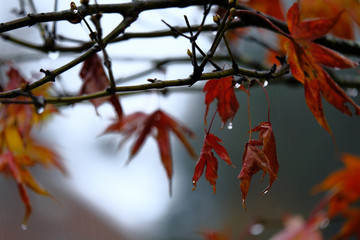 Red Maple leaves with branches in the rain.