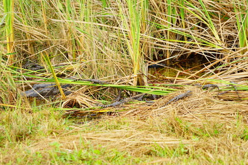 Baby Alligator in everglades national park, Florida, USA