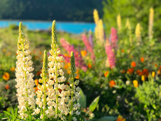 Beautiful lupin flowers in lake Tekapo pink purple white yellow blue color with turquoise blue water and mountain with snowy cap in New Zealand in spring time blur background wallpaper