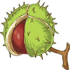 Horse Chestnut. Aesculus