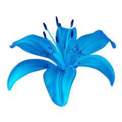 flower blue  lily isolated on white background. Close-up. Element of design.