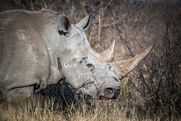 Close up of white rhinoceros
