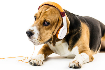 funny beagle dog with headphones listening to music on white background