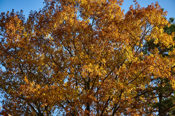 Red oak (Quércus rúbra) with yellow golden leaves in the rays of the morning sun. Yellow leaves with a red tint on the crown of an oak against the blue cloudless sky. Nature concept for design.