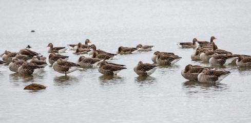 Ánsares Comunes descansando sobre la superficie del agua. Anser anser. Reserva Natural de Lagunas de Villafáfila, Zamora, España.