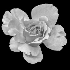 Monochrome black and white fine art still life floral macro flower portrait image of a single isolated pink wide open rose blossom, black background,detailed texture,vintage painting style