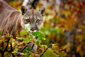 Poster Puma Portrait of Beautiful Puma in autumn forest. American cougar - mountain lion, striking pose, scene in the woods, wildlife America