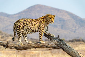 In de dag Luipaard The Leopard in Namibia