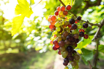 Vineyard with white wine grapes in countryside, Sunny bunches of grape hang on the vine