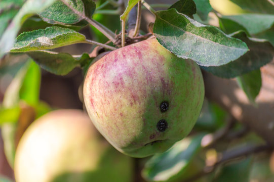 Apples spoilt by pests, insects, plant disease, eaten by birds, before being harvested