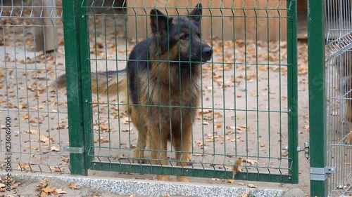A barking, angry, big, brown and dangerous dog walks behind a fence