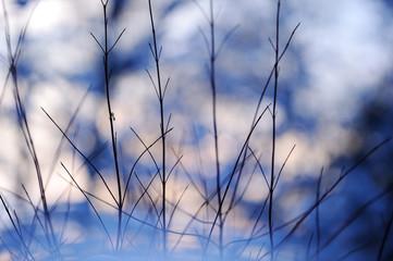 Siberian dogwood (Cornus alba 'Sibirica') branches in snow. Selective focus and shallow depth of field.