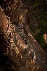 Leopard lies in branches looking at camera