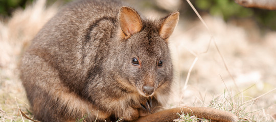 Australian bush wallaby outside during the day.