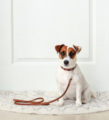 Cute Jack Russell terrier sitting on rug near door at home