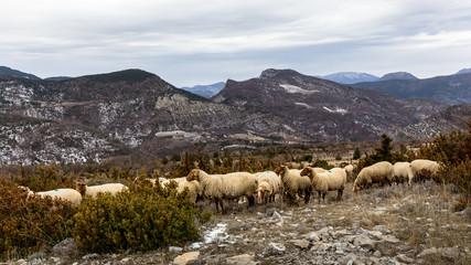 Troupeau de mouton dans les Baronnies, en Provence