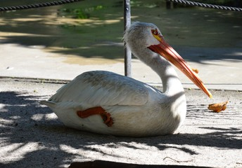 A white Pelican resting in the shade.
