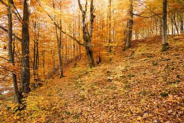 Beautiful sunrise in the autumn forest; fallen yellow leaves
