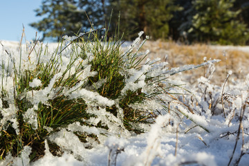 a bunch of green grass covered with snow in the end of November