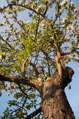 blüteenpracht im frühling einer autochtonen obssorte