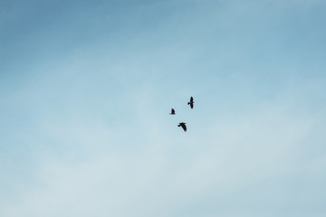 A three black crows flies at the blue sky