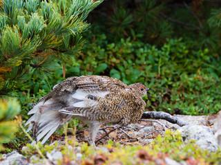 伸びをするライチョウの幼鳥(rock ptarmigan)