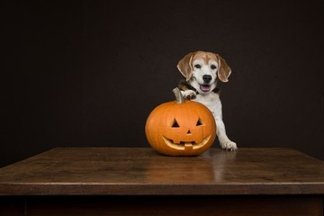 dog with Halloween pumpkin2