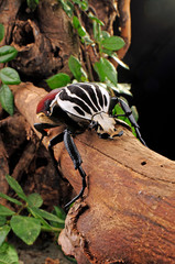 Search Photos Goliath Beetle