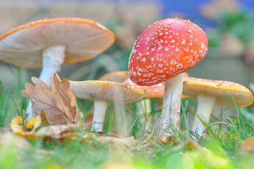 Group of Cluster or Fly Agaric in grass. Magic mushrooms amanita muscaria background