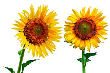Sunflower Isolate on white background