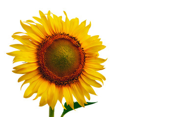 Sunflower Isolate on white background