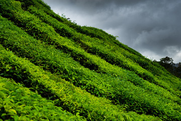 Tea plantations in Cameron Highlands, Malaysia