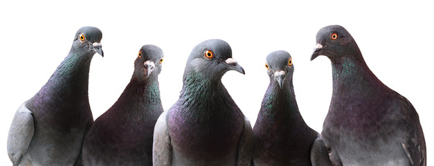 Funny group of curious Pigeons isolated on white Wall mural