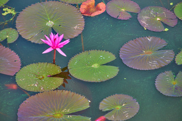 Beautiful pink water lily or lotus flower and leaf in pond floating on water