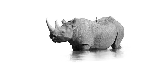 Foto op Aluminium Neushoorn Black and white, artistic photo of black rhinoceros, Diceros bicornis, standing in the waterhole, isolated on white background with only a touch of environment. Endangered animal, Etosha, Namibia.