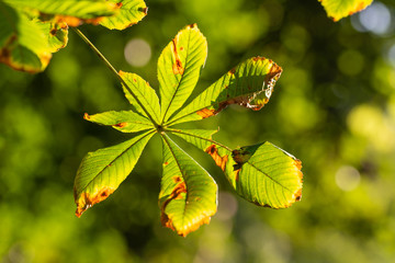 Horse-chestnuts leaf on tree branch i
