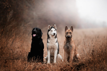 Three dogs of breed Labrador, Husky and Lackenois in the autumn forest