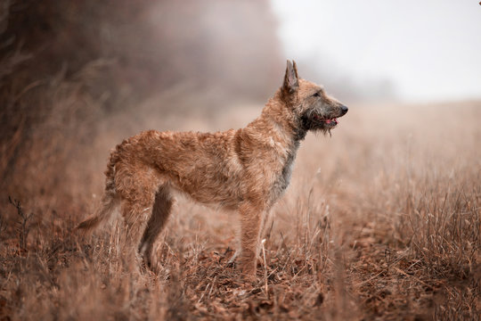 Dog breed Belgian Shepherd Laquenoy in the autumn forest