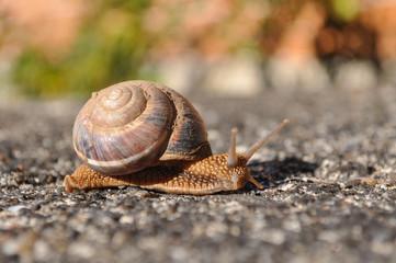 Little snail crawling on spring sun. Burgundy snail, Helix, Roman snail, edible snail or escargot crawling
