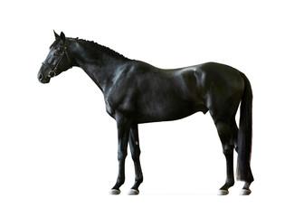 black russian saddlebred horse isolated on white background