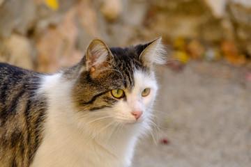 Chat tigré avec des tâches blanches dans la rue.