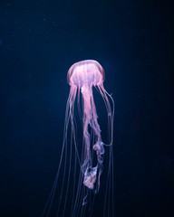 Fototapete - glowing jellyfish underwater
