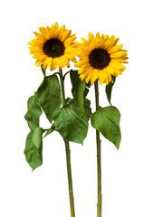 Sunflower flower on white background