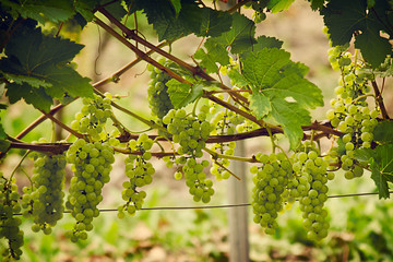 tinted photo of a bunch of white grapes close-up hanging on a branch